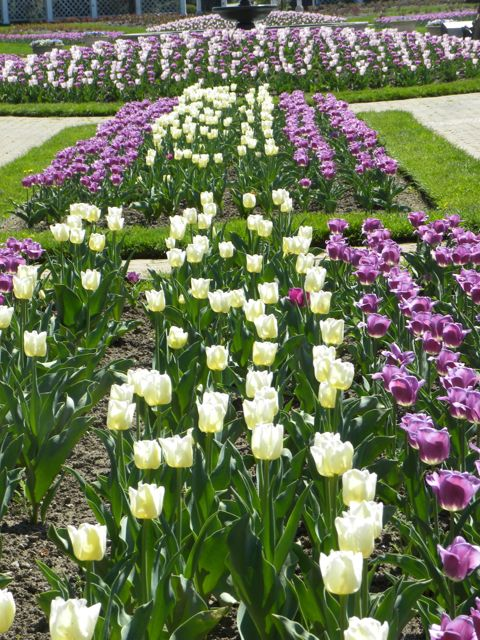 Rows of purple and white tulips