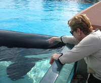 Seated woman leaning over edge of tank to touch a large black whale